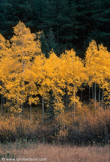 Line of aspen trees in Fall colors in front of evergreens
