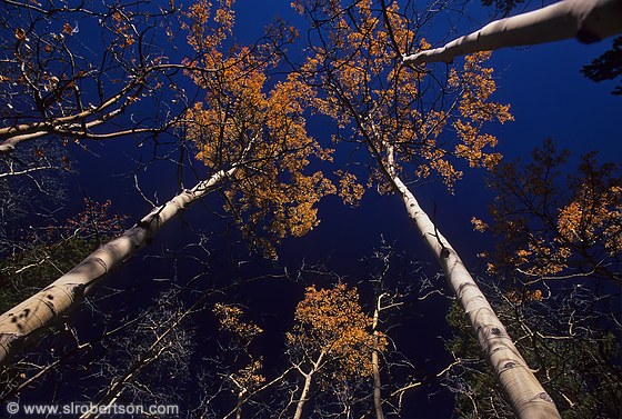 Wide angle view of tops of aspen trees and sky
