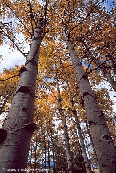 Wide angle view of tops of aspen trees in golden yellow Fall colors
