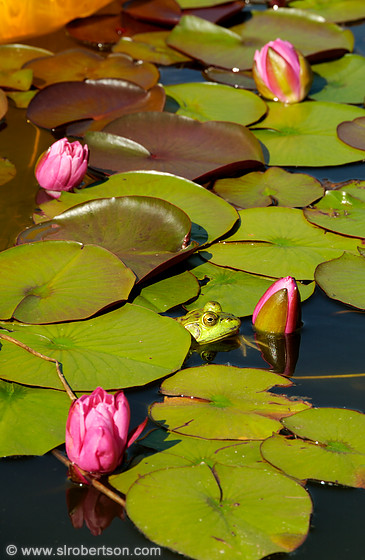 Frog in Lily Pond 4