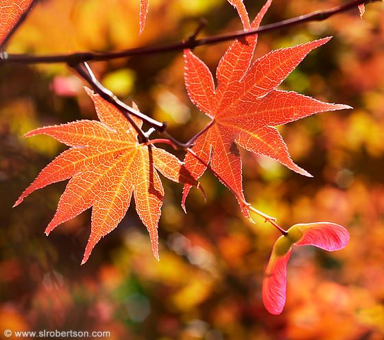 Photo Of Japanese Maple Leaves Scott L Robertson