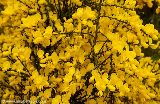 Photo Of Bright Yellow Flowers Blooming On Shrubs Scattered
